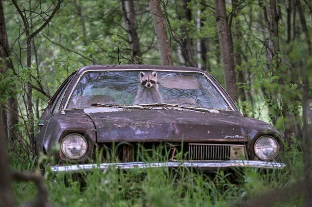 Raccoon driver.jpg